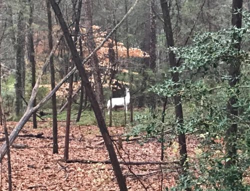 Have you seen the Piebald Whitetale deer?
